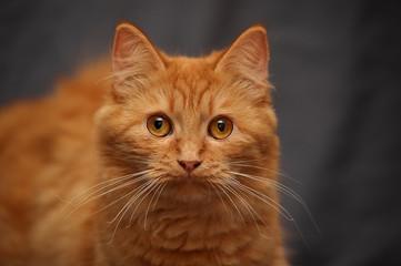 Domestic cat is a pet