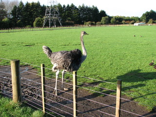 Ostrich in the farm.