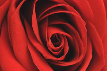 Red rose symbol of infinite love