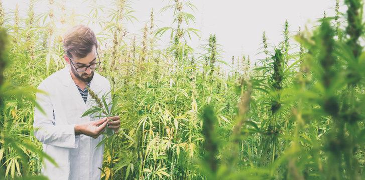 Wissenschaftler in einem staatlichen Cannabisfeld für Schmerzpatienten