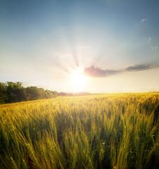 Wheat field on  setting sun