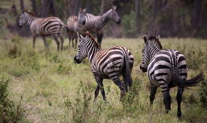 A herd of Zebra