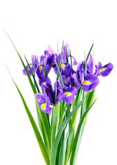 Deurstickers Iris Purple iris flowers