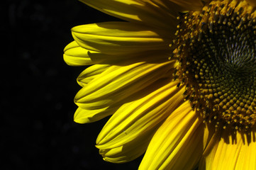 close up of yellow sunflower on black background