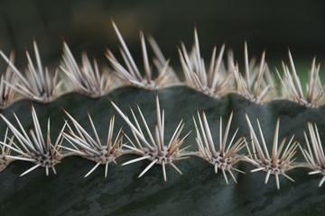 Stacheln eines Kaktus