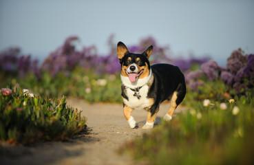 Welsh Pembroke Corgi dog walking through path of purple flowers