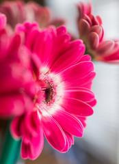 Poster de jardin Gerbera Closeup of pink gerbera flower bouquet in vase