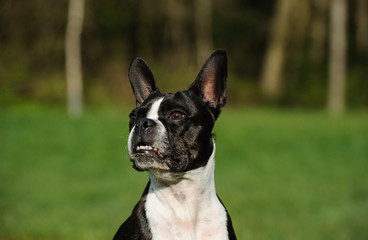 Boston Terrier dog portrait in front of grass and forest