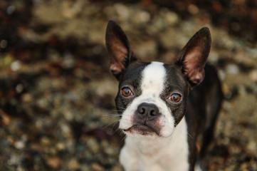 Boston Terrier dog against rock beach