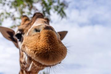 drôle de girafes