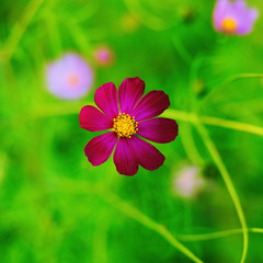 Violet cosmos bipinnatus flower on a blurred green background. Garden flower - cosmeya. Square format.
