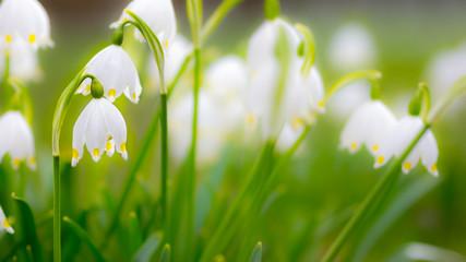 Maiglöckchen auf einer Frühlingswiese