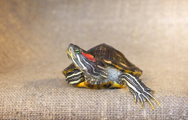 Closeup of pond slider red-eared turtle.(4)