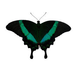 Big green exotic Butterfly isolated on a white background