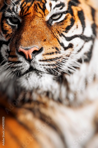 close up of a tigers face stock photo and royalty free images on