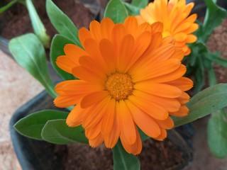 dalia flower or dahlia flower
