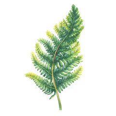 Green fern leaf. Polypodiopsida. Hand drawn watercolor painting on white background.