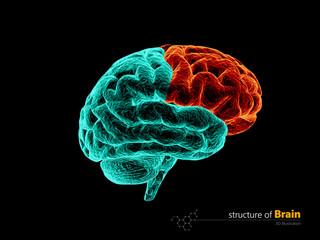 Human brain, frontal lobe anatomy structure. Human brain anatomy 3d illustration.