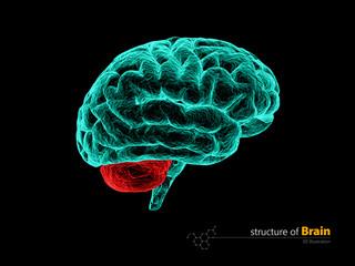 Human brain, cerebelum, anatomy structure. Human brain anatomy 3d illustration.