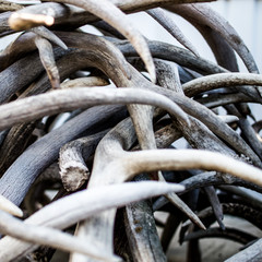whitetail deer antler shed pile