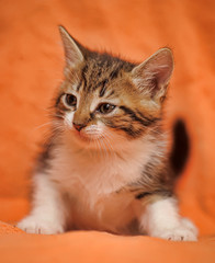 tabby with white kitten on a red background