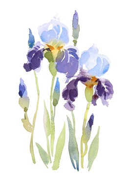 Watercolor Blue Irises Flowers Floral Background Texture Hand Painted Illustration