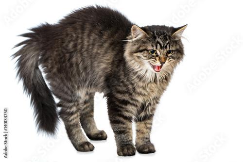 fauchende katze macht katzenbuckel stockfotos und lizenzfreie bilder auf bild. Black Bedroom Furniture Sets. Home Design Ideas