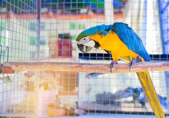 Close up blue and yellow macaw or blue and gold macaw bird standing perch on the branch in cage.
