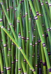 Horsetail bamboo close up