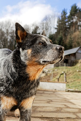 A pretty Australian cattle dog in profile.