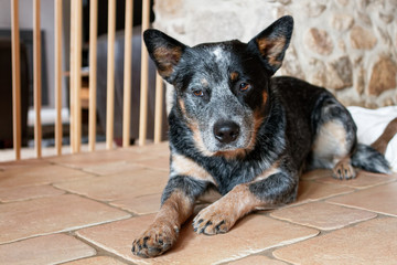 A pretty Australian cattle dog lying on the floor.