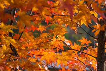 Maple tree leaves autumn fall scene