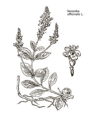 Veronika officinalis. Hand drawn vector botanical illustration of valerian on white background. Wild grasses and flowers.
