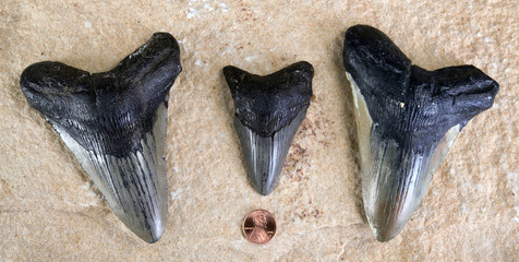 Megalodon Shark Teeth.