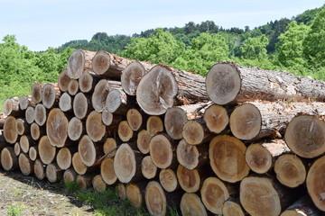 伐採直後に積まれた杉の丸太