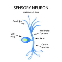 The structure of the sensory neuron. Infographics. Vector illustration on isolated background