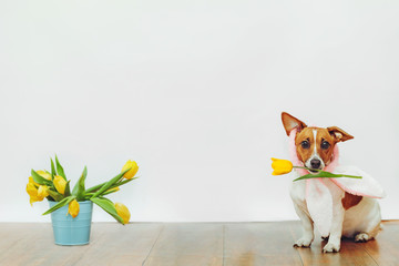 Cute dog with bunny ears hold in his teeth tulip flower on light background.