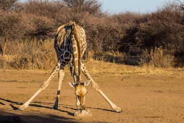 Giraffe, Mount Etjo, Namibia