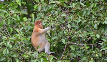 Proboscis Monkey sitting on a tree in the wild green rainforest on Borneo Island. The proboscis monkey (Nasalis larvatus) or long-nosed monkey, known as the bekantan in Indonesia