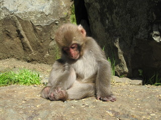 Young Monkey Contemplating Its Toes - Jigokudani Monkey Park (Snow Monkeys), Japan
