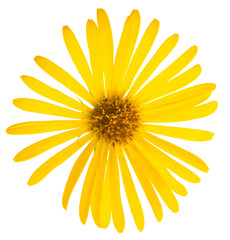Yellow flower of Daisy, original botanical name - Doronicum orientale, flower isolated on white background 1:1 macro lens shot