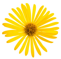 Yellow flower of Daisy, original botanical name - Doronicum orientale, flower isolated on white background 1:1 macro lens shot
