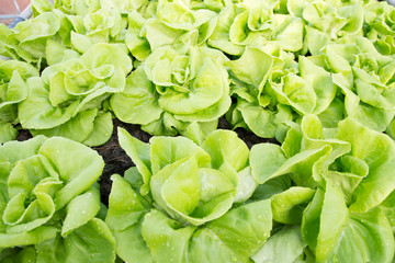Lettuce green in field, vegetable fresh in farm, salad