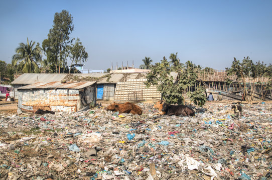 Cows on a garbage dump in Cox's Bazar at the coast of Bangladesh