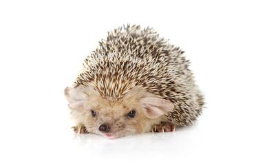 Hedgehog lying on a white background