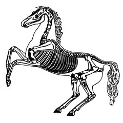 anatomy horse skeleton. Equestrian sport, the idea for the logo. The animal horse is insulated. The structure of the horses