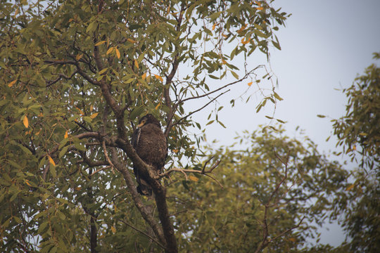 Crested Serpent Eagle in the Sundarbans national park, famous for its Royal Bengal Tiger in Bangladesh