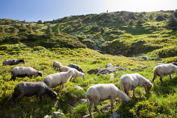 Sheep in the alpine meadows