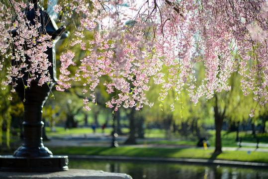 Boston Public Gardes - Spring!