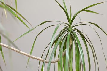 zimmerpflanze drachenbaum